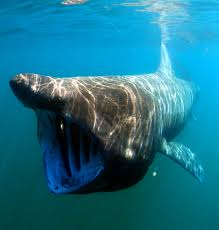 The basking shark and whale shark are unlike all other sharks. These sharks filter plankton from the ocean.