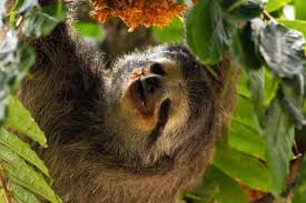 Sloths eat plants, flowers and small insects. They have peg shaped teeth to break down plant material. They have no incisors.