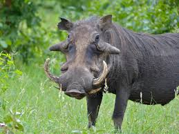 Warthogs are grazers. They also eat grubs, eggs and carrion.  Warthogs have 2 pair of tusks that grow outside of their mouth. The bottom tusks can get razor sharp by rubbing against the top tusks. They use their tusks for digging, fights with other warthogs and protecting themselves against predators.