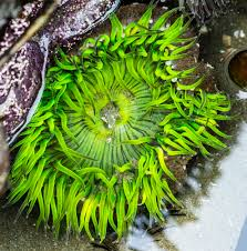 giant green anemone2