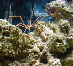 arrowhead crab2