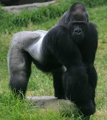 Recycling which one will help protect gorilla habitats? A) cell phones B) paint C) toothbrushes