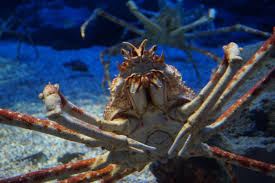 japanese spider crab2