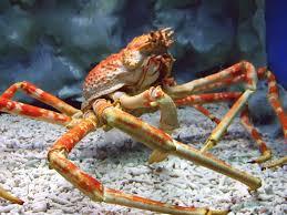japanese spider crab3