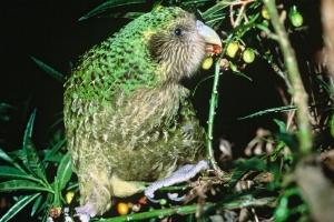 kakapo3