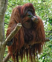 Using products with sustainable palm oil can protect orangutans. True or False