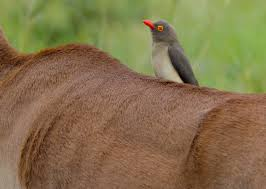 red billed oxpecker2