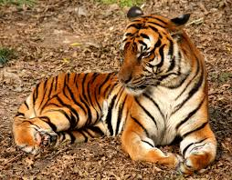 All species of tigers are not endangered.  True or False