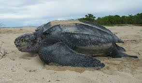 Leatherback turtles often mistake plastic bags for jellies.  True or False