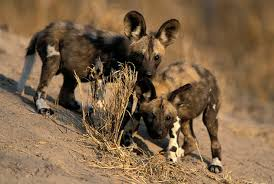 wild dog2