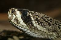 Eastern Diamondback Rattle Snake (found on the south eastern coast of the U.S.)