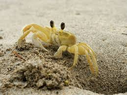 You can often spot ghost crabs and the holes that lead to their burrows in the dunes!