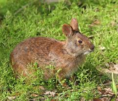 Marsh Rabbit!