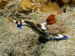 nudibranch4