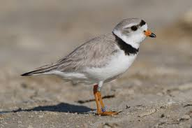 Piping plovers are shore birds. They lay their nests near or in the dunes.