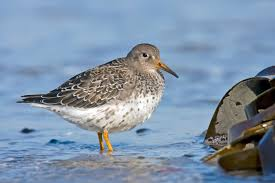 Purple sandpipers are another bird you'll find!