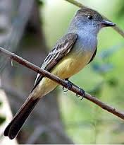 great crested flycatcher2