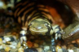tiger salamander2