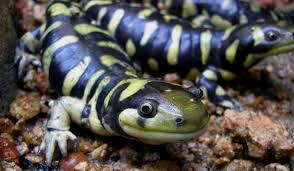 tiger salamander3