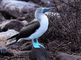 blue-footed2