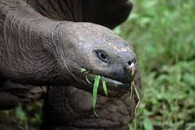 gal-tortoise