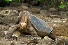 gal-tortoise3