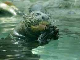 giant-otter3