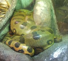 green-anaconda