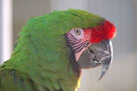 military-macaw