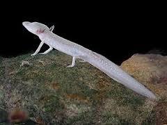 cave-salamander