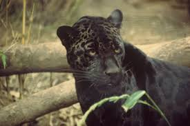 Black cats have been associated with witches and evil, but the black jaguar just has a color mutation called melanism- where their fur has more color than usual.