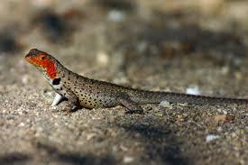 lava-lizard2