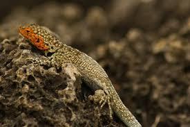 lava-lizard3