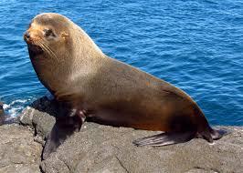 sea-lion2