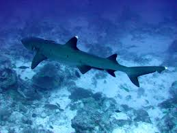 whitetip-shark2