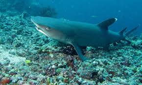 whitetip-shark3