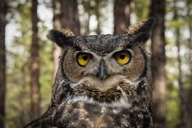 horned-owl2