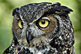 horned-owl3