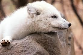 arctic-fox3