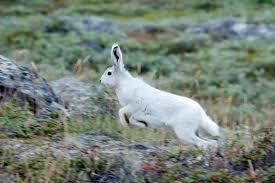 arctic-hare2