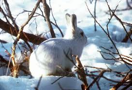 arctic-hare3