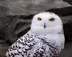 snowy-owl3