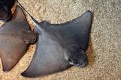 bat-ray