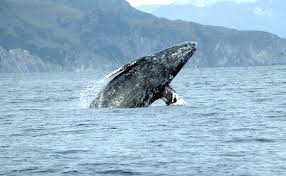 grey-whale