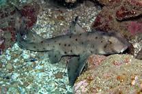 horn-shark3