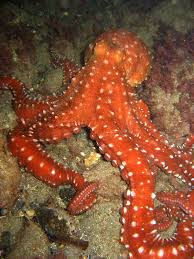 red-octopus