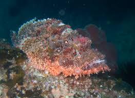scorpionfish2