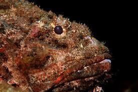 scorpionfish3