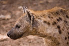 spotted-hyena2