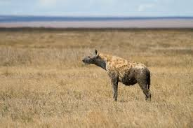 spotted-hyena3